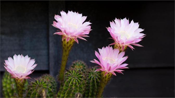 """微软发布""""Cactus Flowers""""(仙人掌花)4K壁纸包"""